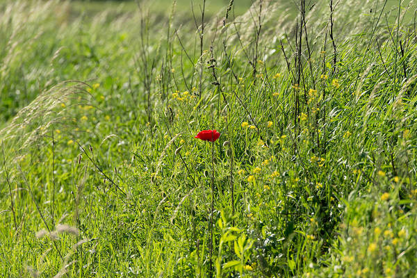 Agriculture Art Print featuring the photograph Poppy Flower Between Herbs by Adrian Bud