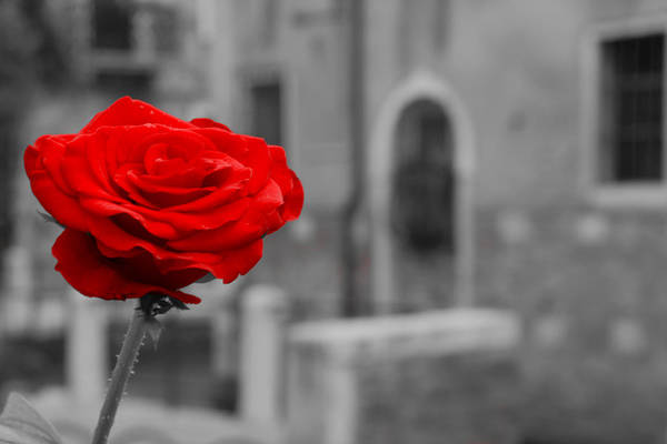 Venice Art Print featuring the photograph Red Rose With Black And White Background by Michael Henderson