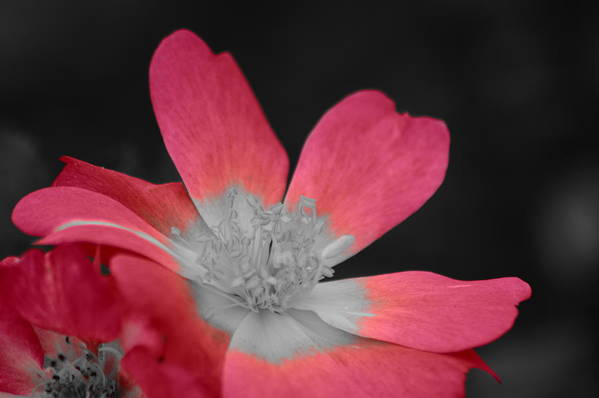 Rose With Pink And Selected Color Art Print featuring the photograph Rose With Pink And Selected Color by Warren Thompson