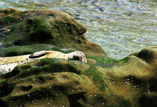 Seal Art Print featuring the photograph Seal On The Rocks by Anthony Jones