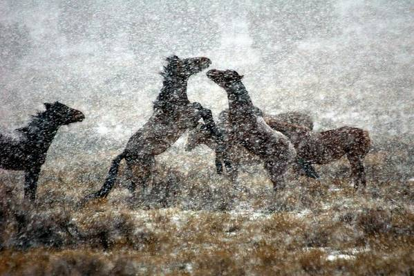 Equine Art Print featuring the photograph Storm Fight by Gene Praag