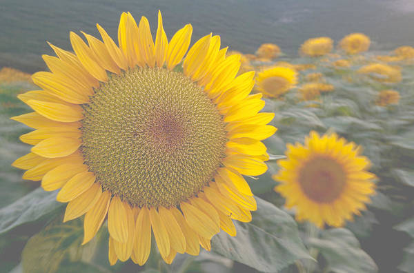 Sunflower Art Print featuring the photograph Sunflower closeup on field during sunset by Michael Goyberg