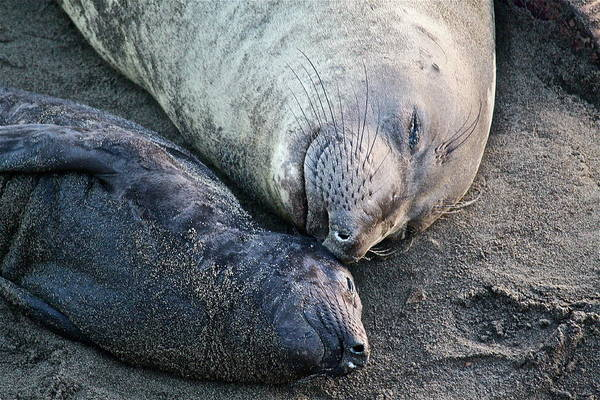 Seals Art Print featuring the photograph Sweet Dreams by Diana Hatcher
