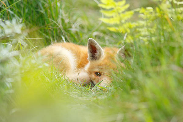 Afternoon Art Print featuring the photograph The Fox Kit And The Ferns by Roeselien Raimond