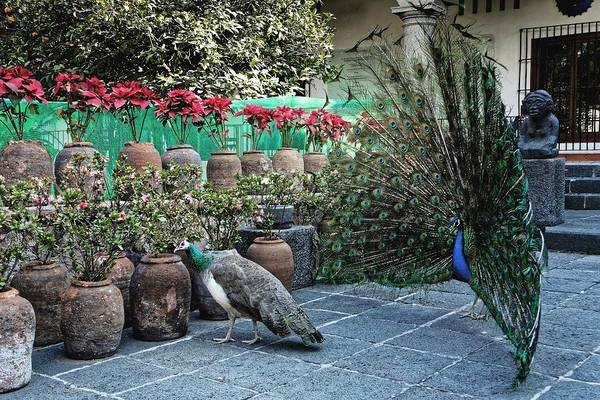 Peacocks Art Print featuring the photograph The Unrequited, Mexico City, 2016 by Chris Honeyman