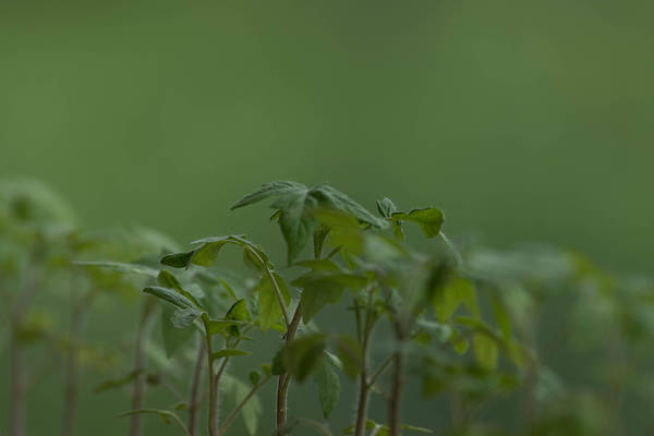 Agriculture Art Print featuring the photograph Tomato seedlings in the morning by Adrian Bud