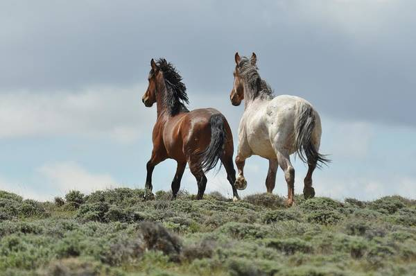 Wild Horses Art Print featuring the photograph Too Beautiful by Frank Madia
