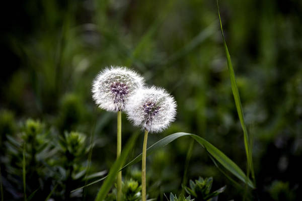 Abstract Art Print featuring the photograph Twin Dandelions by Adrian Bud