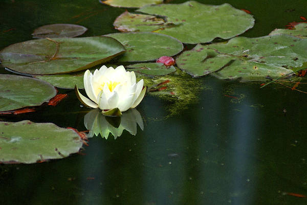 Lily Art Print featuring the photograph Water Lily by Heather Coen
