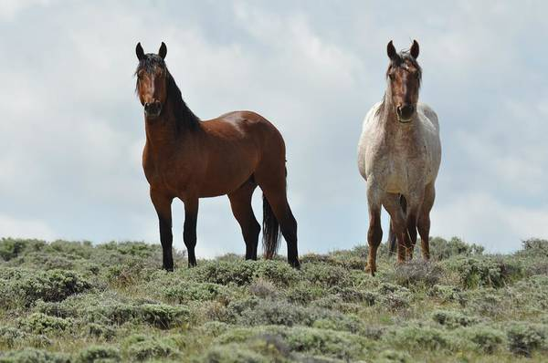 Wild Horses Art Print featuring the photograph We See You by Frank Madia