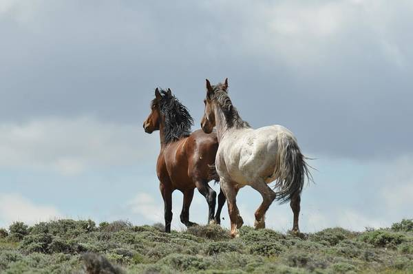 Wild Horses Art Print featuring the photograph We Will Be Over the Hill in a Few Seconds by Frank Madia