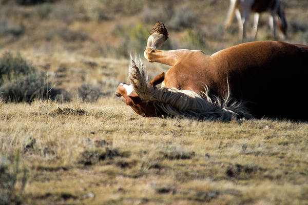 Cody Art Print featuring the photograph Wild Horse With and Itch by Frank Madia