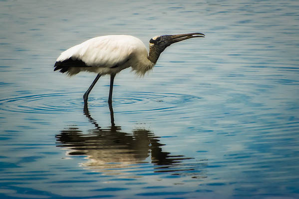 Stork Art Print featuring the photograph Wood Stork by Rich Leighton