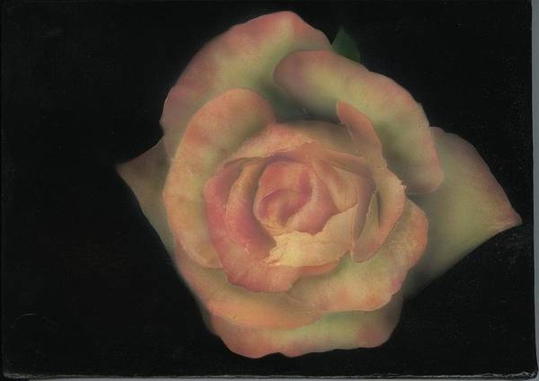 Rose Art Print featuring the painting Yello Rose by Charles Parks