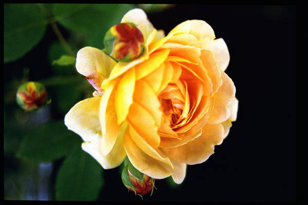 Rose Art Print featuring the photograph Yellow Rose by Paul Trunk