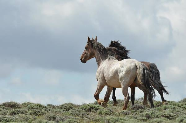 Wild Horses Art Print featuring the photograph You Will Never Catch Us by Frank Madia