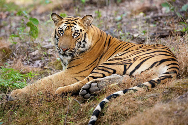 Looking Over Shoulder Art Print featuring the photograph An Adult Tiger In Bandhavgarh National by Mint Images - Art Wolfe