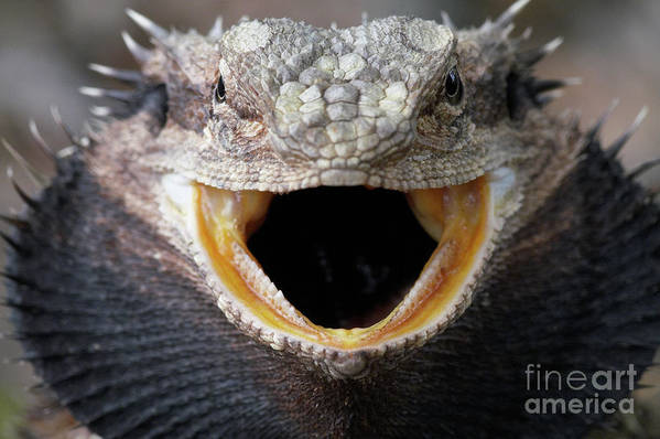 Pets Art Print featuring the photograph Bearded Dragon by Byronsdad
