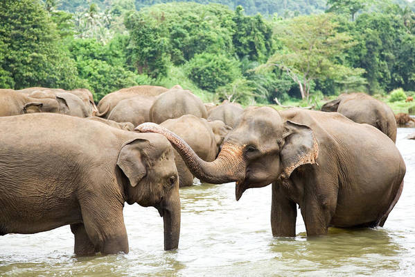 Animals In The Wild Art Print featuring the photograph Elephants In River by Lp7