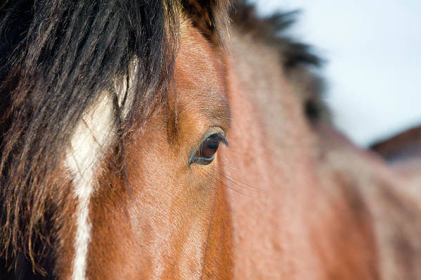 Horse Art Print featuring the photograph Equine Beauty by Dageldog