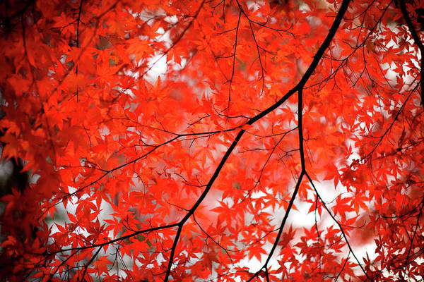 Tranquility Art Print featuring the photograph Fall Colors In Japan by Jdphotography