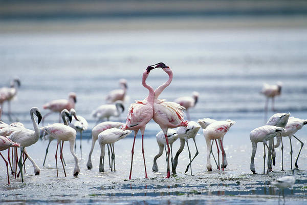 Tanzania Art Print featuring the photograph Lesser Flamingoes Phoeniconaias Minor by Paul Souders