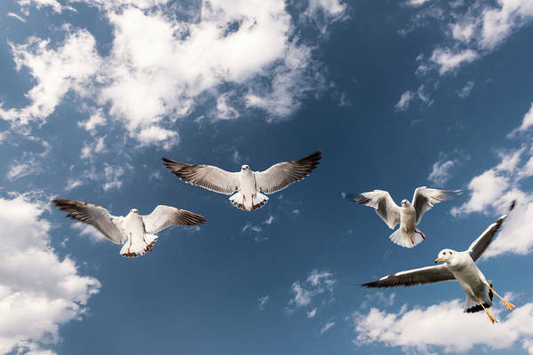 Animal Themes Art Print featuring the photograph Myanmar, Inle Lake, Seagulls Inflight by Martin Puddy