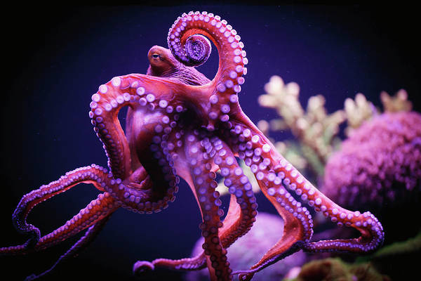Underwater Art Print featuring the photograph Octopus by Reynold Mainse / Design Pics