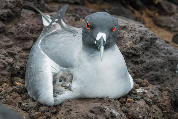 Animal Art Print featuring the photograph Swallow-tailed Gull Brooding Chick by Tui De Roy