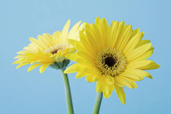 Two Objects Art Print featuring the photograph Yellow Flowers On Blue Background by Kristin Lee