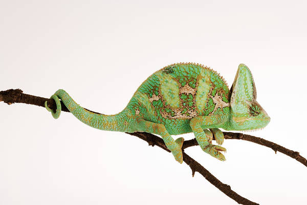 White Background Art Print featuring the photograph Yemen Chameleon Sitting On Branch by Martin Harvey