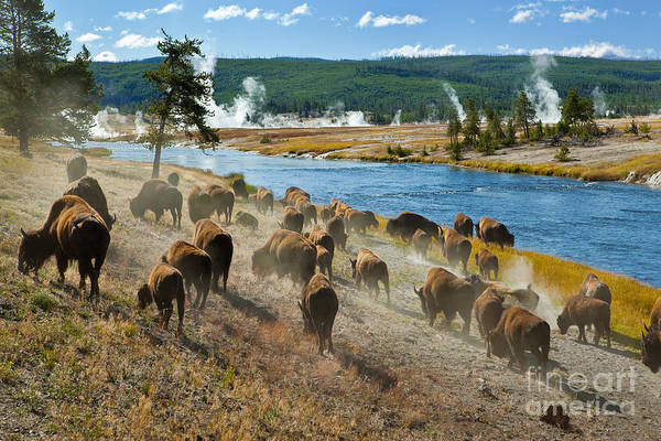 Fur Art Print featuring the photograph A Herd Of Bison Moves Quickly by Lee Prince