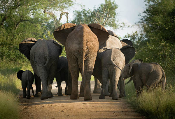 Cow Art Print featuring the photograph A Herd Of Elephants Heading Away From Us by Jono0001