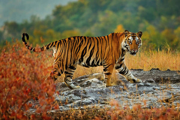 Vertebrate Art Print featuring the photograph A Large Tiger In Bandhavgarh National by Mint Images - Art Wolfe
