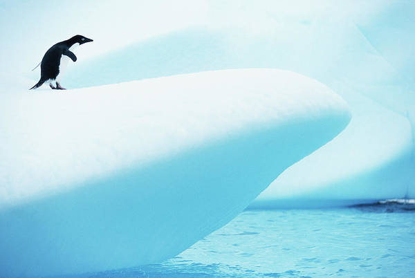 The End Art Print featuring the photograph Adelie Penguin Pygoscelis Adeliae by Paul Souders