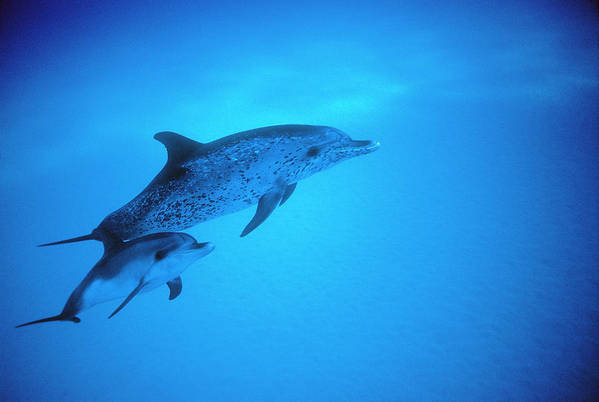 Underwater Art Print featuring the photograph Adult And Baby Atlantic Spotted by Georgette Douwma