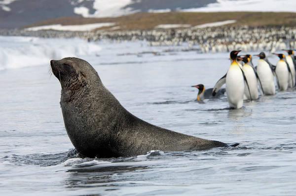 Water's Edge Art Print featuring the photograph An Antarctic Fur Seal, Arctocephalus by Mint Images - David Schultz