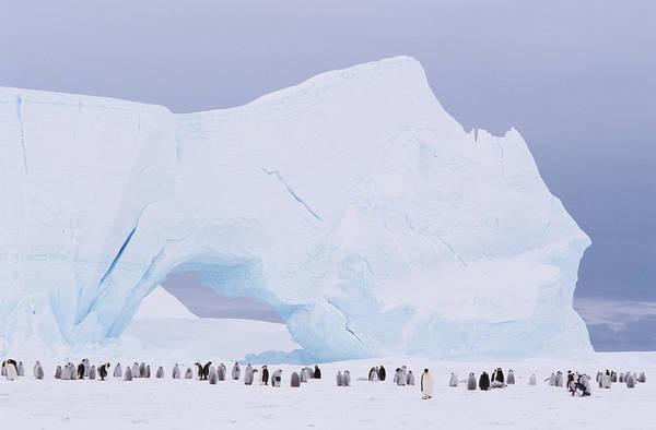 Emperor Penguin Art Print featuring the photograph Antarctica, Emperor Penguin Aptenodytes by Joseph Van Os