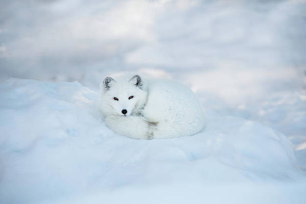 Svalbard Islands Art Print featuring the photograph Arctic Fox Resting In The Snow by Seppfriedhuber