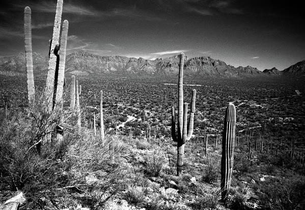 Saguaro Cactus Art Print featuring the photograph Arizona, Tucson, Saguaro Np, Brown by James Denk