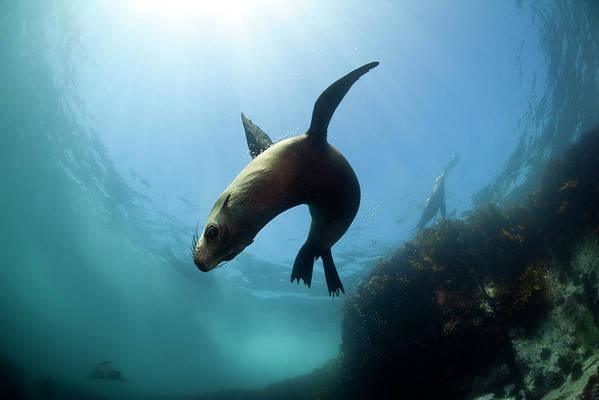 Underwater Art Print featuring the photograph Australian Fur Seal With Sun Burst by Alastair Pollock Photography