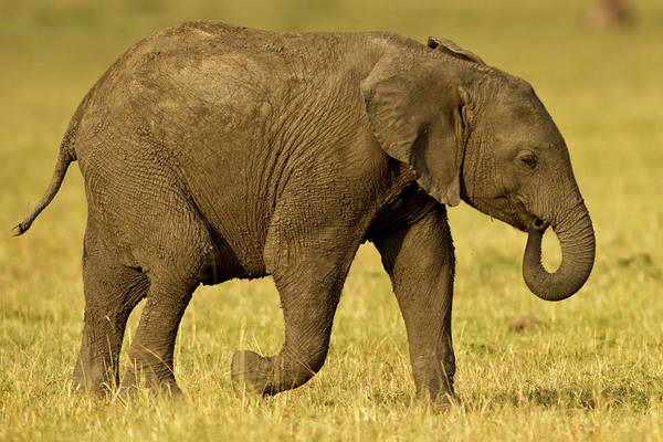 Following Art Print featuring the photograph Baby Elephant Following The Herd On The by Manoj Shah
