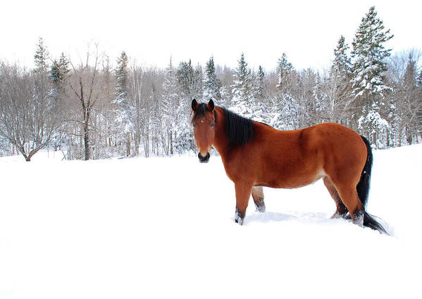 Horse Art Print featuring the photograph Bay Horse Standing Alone In Deep Snow by Anne Louise Macdonald Of Hug A Horse Farm