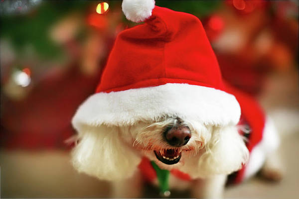 Pets Art Print featuring the photograph Bichon Frise Dog In Santa Hat At by Nicole Kucera