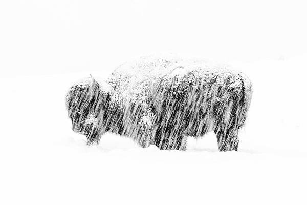 American Bison Art Print featuring the photograph Bison in Painted Snow by Max Waugh