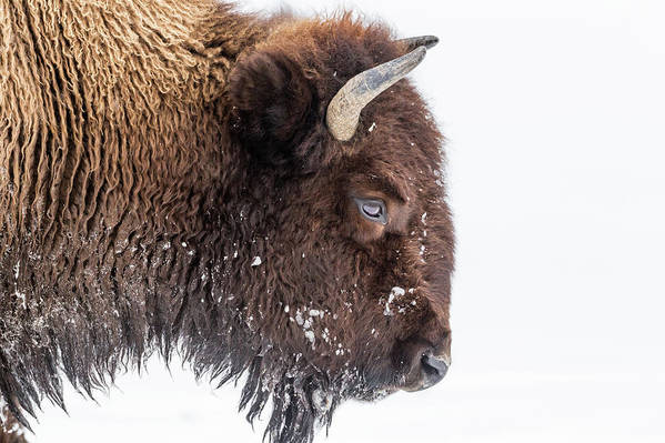 Vertebrate Art Print featuring the photograph Bison In Winter by Kencanning