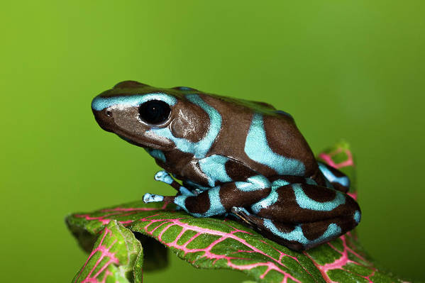 Animal Themes Art Print featuring the photograph Blue And Black Dart Frog, Dendrobates by Adam Jones