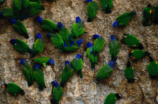 Blue Headed Parrot Art Print featuring the photograph Blue-headed And Barrabands Parrots by Art Wolfe