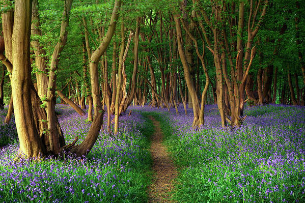Tranquility Art Print featuring the photograph Bluebells In Sussex by Photography By Sam C Moore