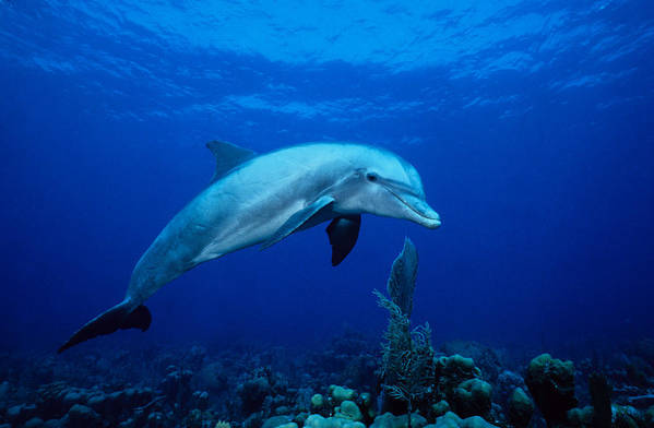 Underwater Art Print featuring the photograph Bottlenose Dolphin,tursiops by Gerard Soury